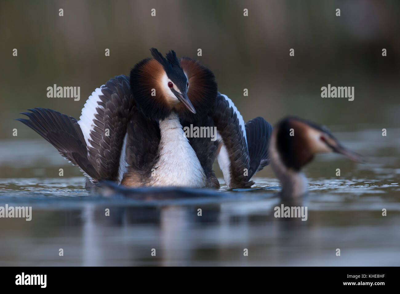 Great Crested Grebes / Haubentaucher ( Podiceps cristatus ) courting, one opens wings to impress its mate, impressive - Stock Image