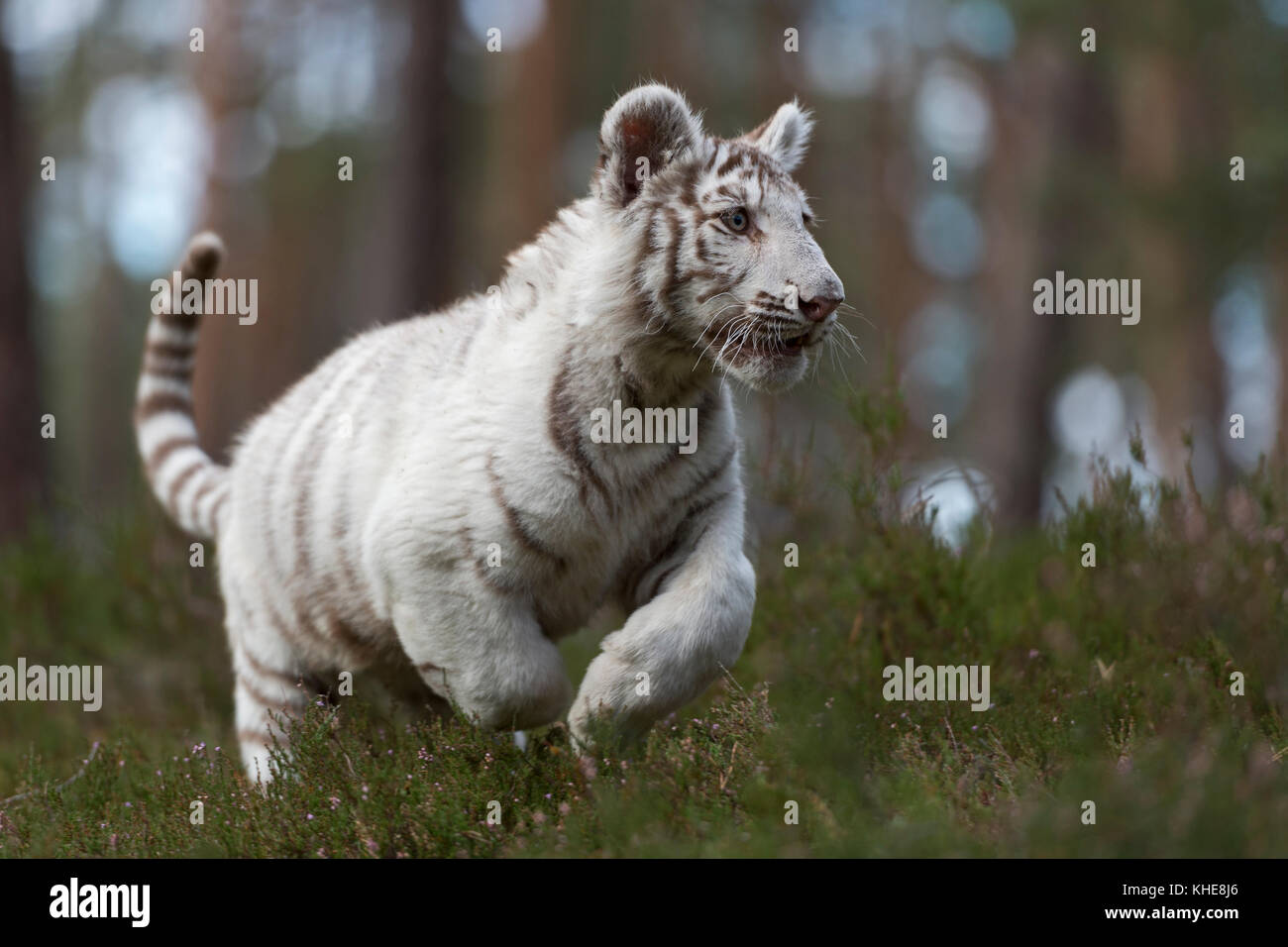 Royal Bengal Tiger / Koenigstiger ( Panthera tigris ), young, white animal, running fast, jumping through the undergrowth - Stock Image