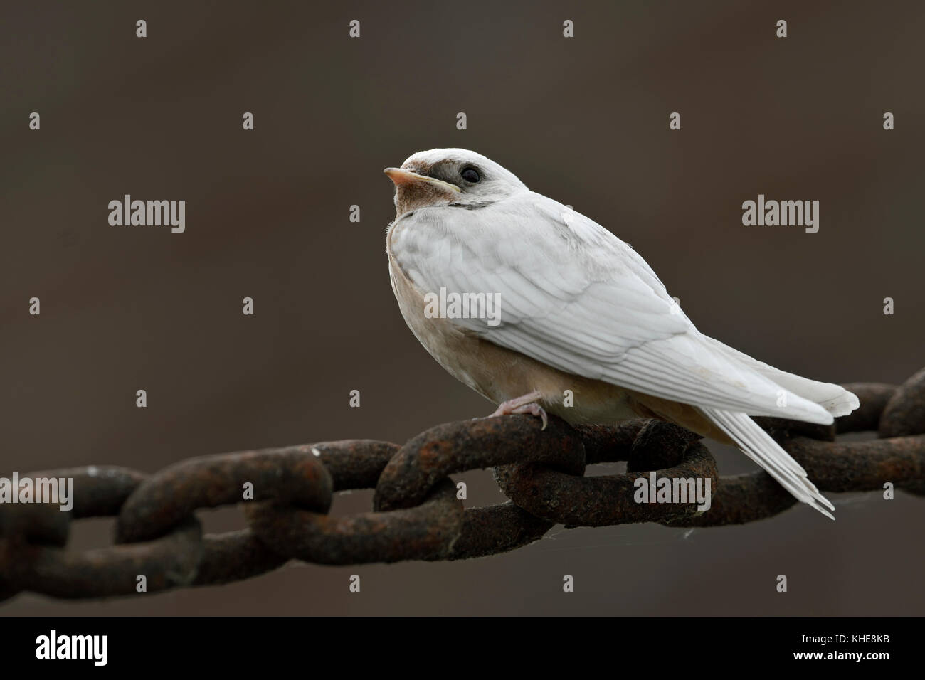 Barn Swallow ( Hirundo rustica ), young, pigment defect, white plumage, leucistic, leucism, perched on a massive - Stock Image