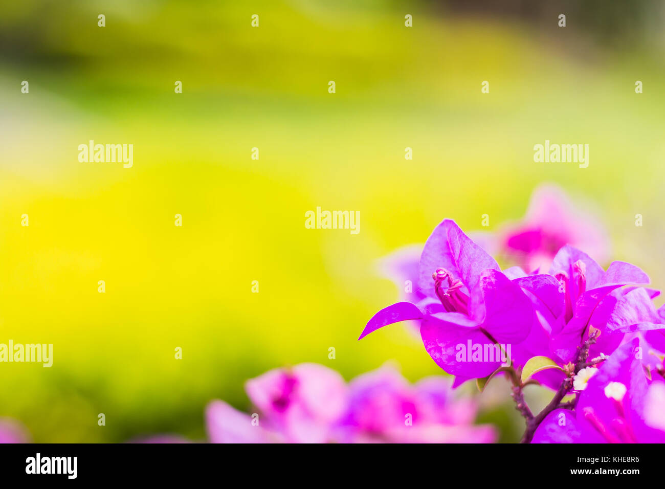 bougainvillea flowers purple color with yellow blured background warm tone - Stock Image