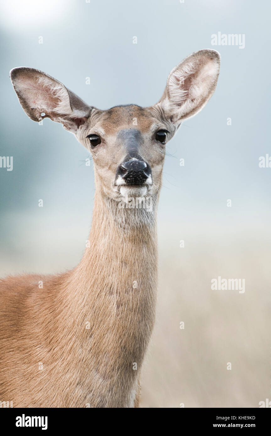 A female white-tailed deer looks up curiously from within a meadow in Michigan, United Stated, Eastern North America Stock Photo