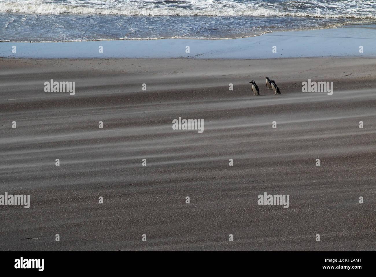 Magellanic penguin Spheniscus magellanicus adults on wind blown beach Saunders Island Falkland Islands British Overseas Territory November 2016 Stock Photo