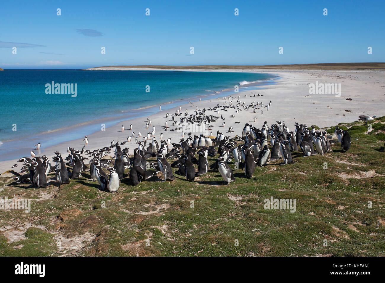 Magellanic penguin Spheniscus magellanicus adults along shoreline of a bay Bleaker Island Falkland Islands British Overseas Territory December 2016 Stock Photo