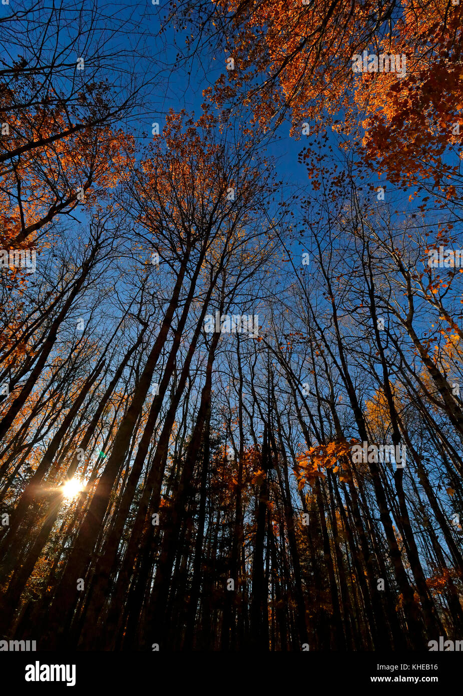 Late afternoon sun hits the tops of trees, accentuating the autumn leaves against a blue sky. - Stock Image