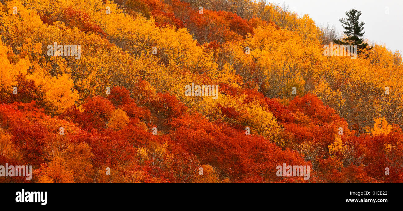 A lone evergreen tree rises above vibrant autumn colors on a side hill. - Stock Image