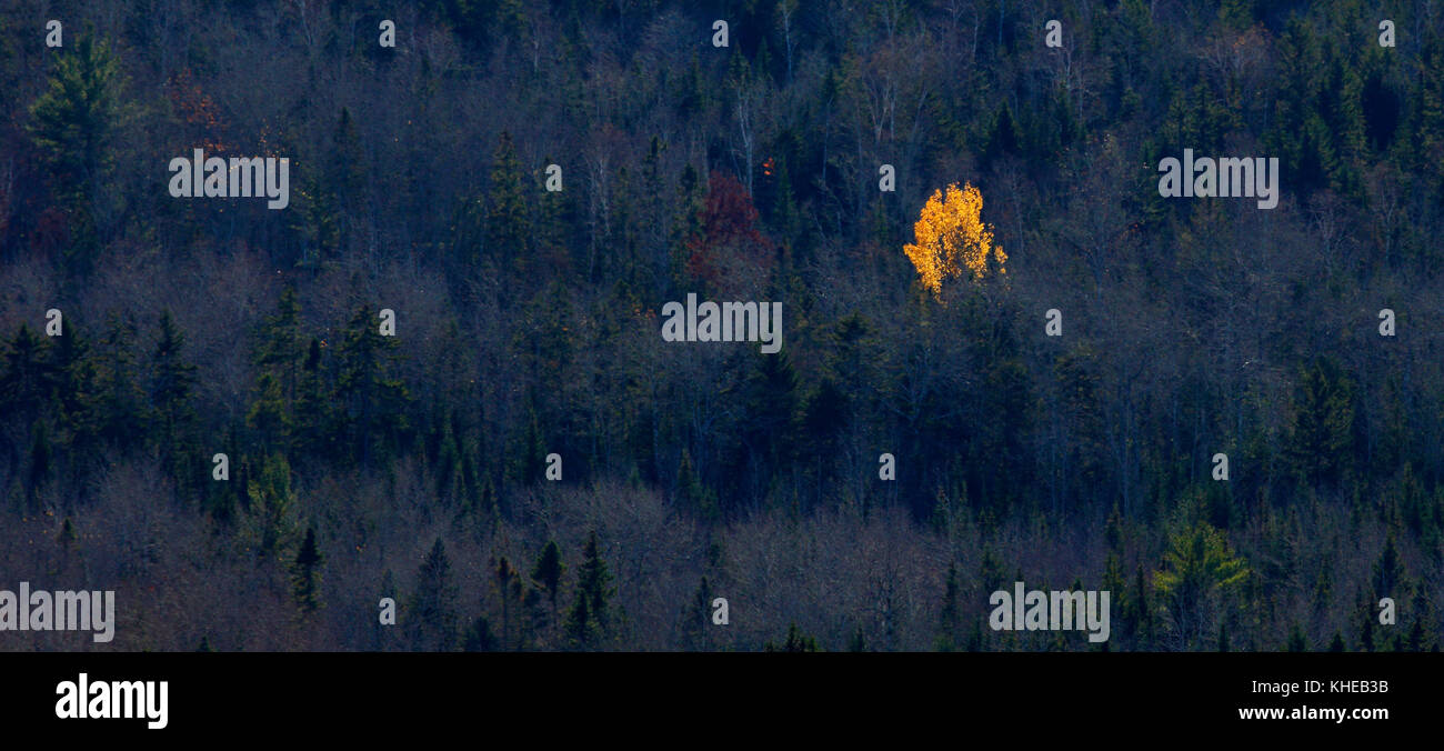 A lone vibrant, yellow-leafed tree stands out against evergreens and trees that have lost their leaves in late autumn. - Stock Image