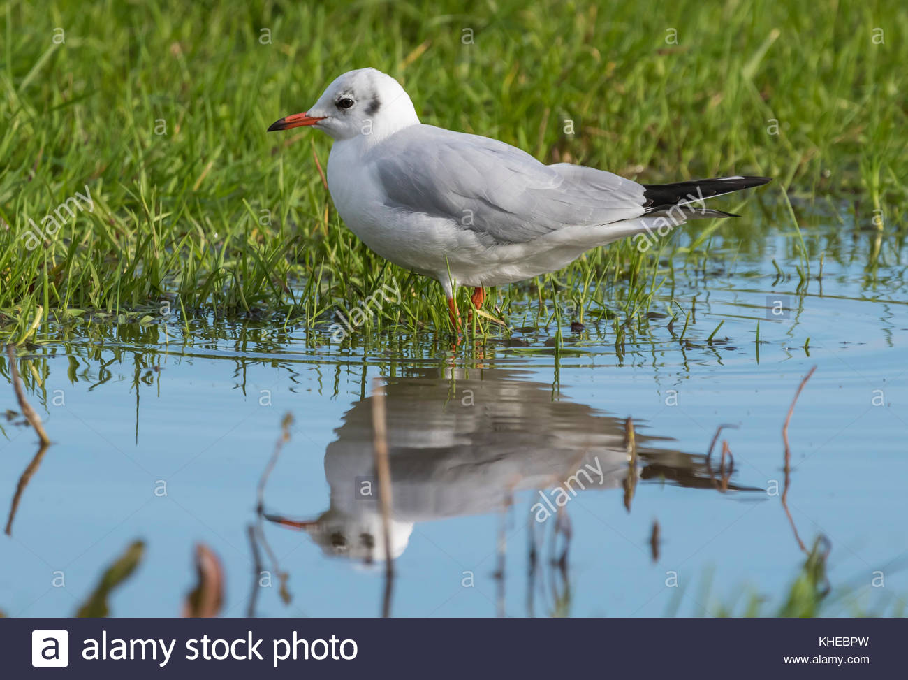 Black Headed Gull (Chroicocephalus ridibundus) with a reflection in water standing in a field in Winter plumage - Stock Image