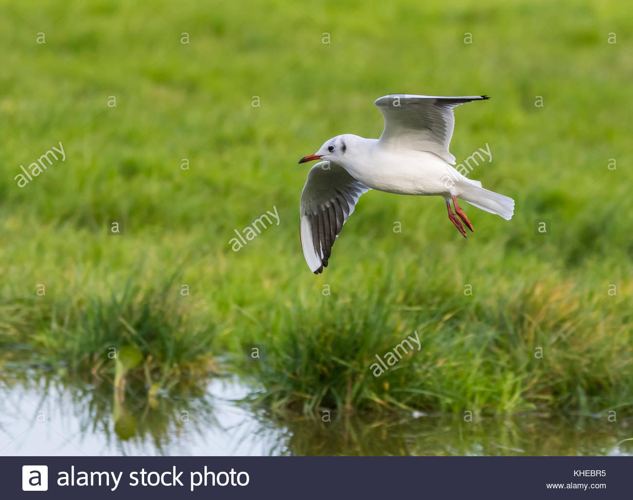 Black Headed Gull (Chroicocephalus ridibundus) flying low over a field in Winter plumage  in Autumn in the South - Stock Image