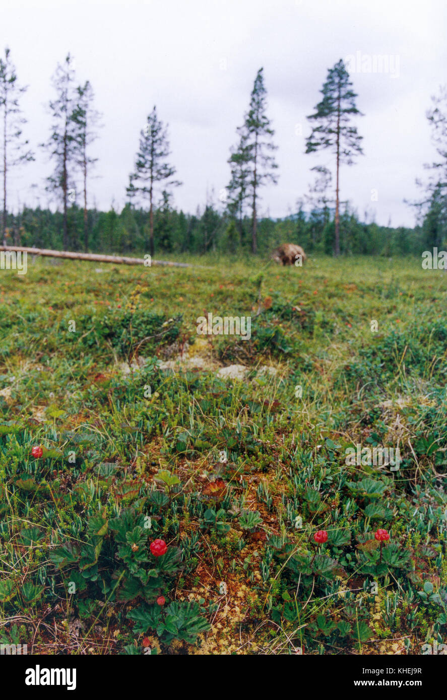 CLOUDBERRY on a swamp in northern Sweden 2010 - Stock Image