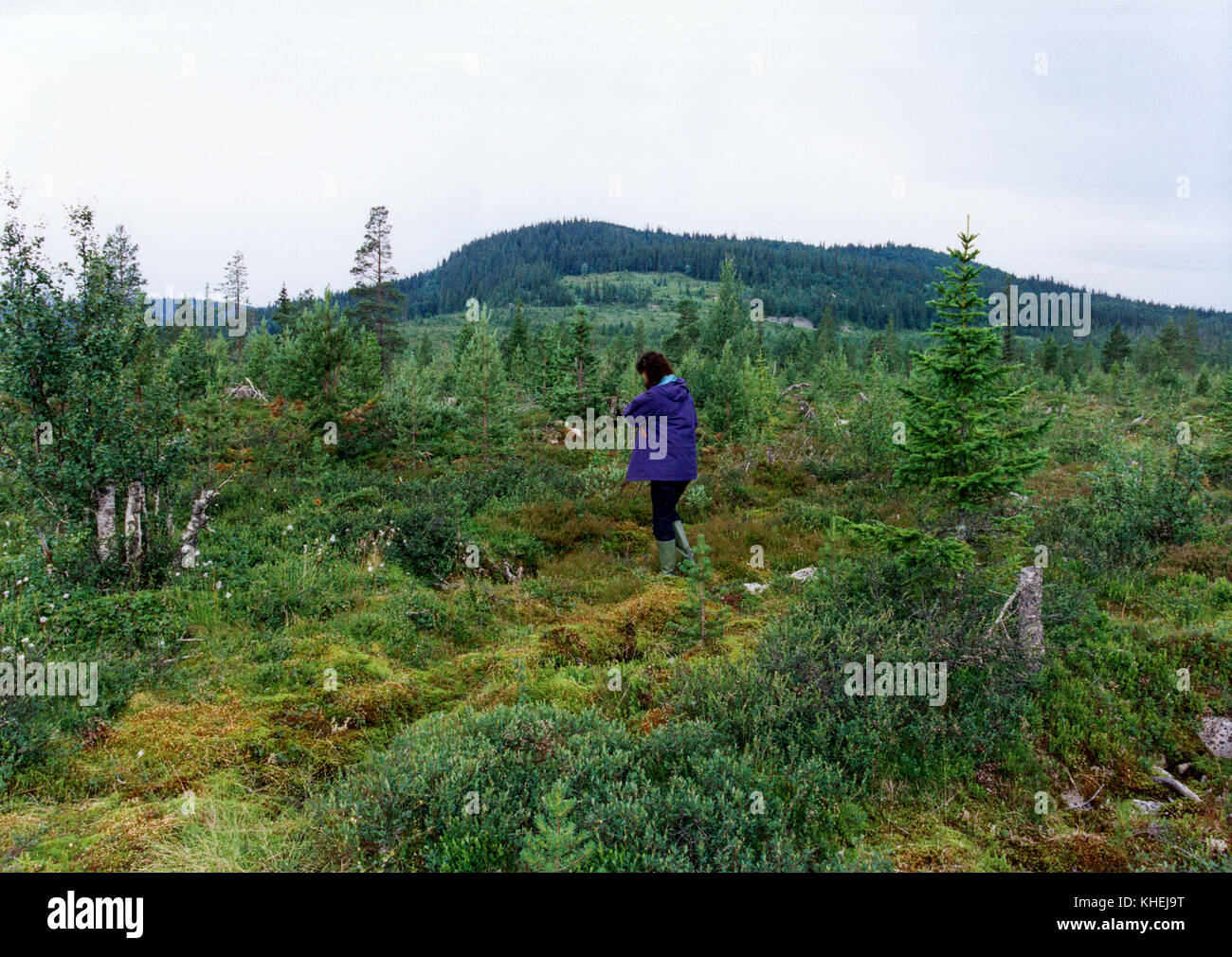 Women looking for CLOUDBERRY on a swamp in northern Sweden 2010 - Stock Image