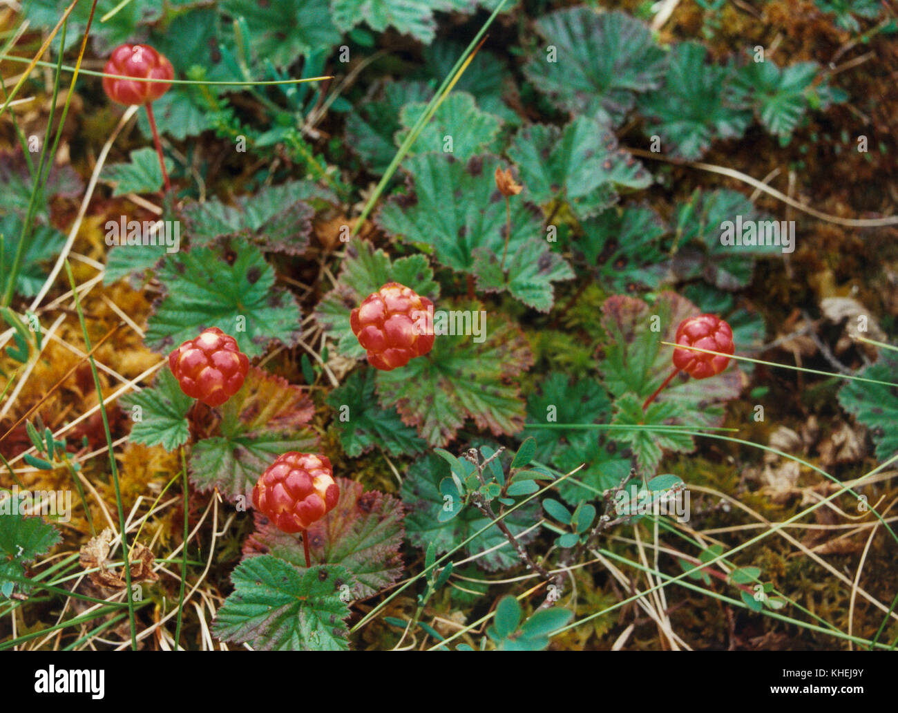 CLOUDBERRY plant with berrys on a mire in northern Sweden 2010 - Stock Image