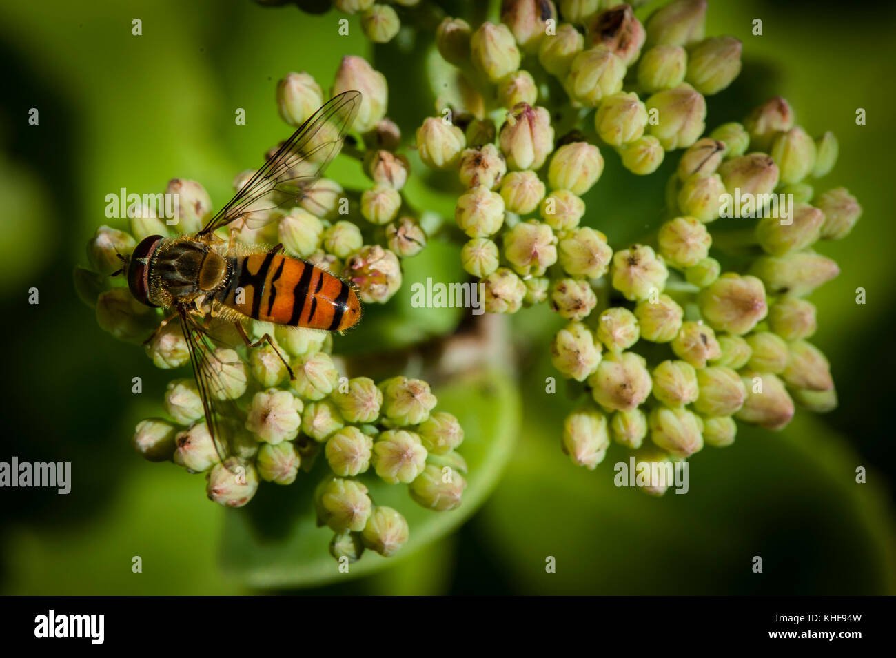 Hoverfly on a Sedum Plant - Stock Image