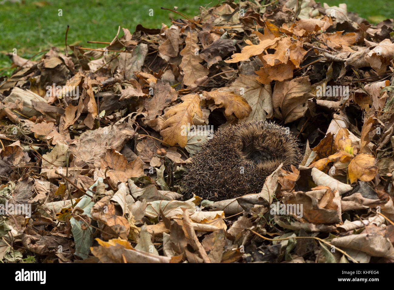 Curled up hedgehog making the most of the autumn sunshine before hibernating for the winter, fast asleep, mopping - Stock Image