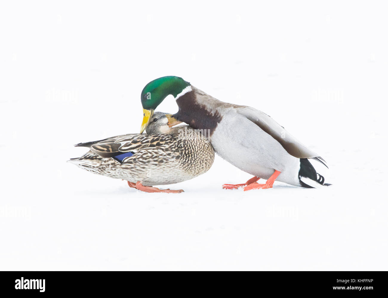 Mallard (Anas platyrhynchos). Mates greeting on snow-covered pond. Acadia National Park, Maine, USA. - Stock Image