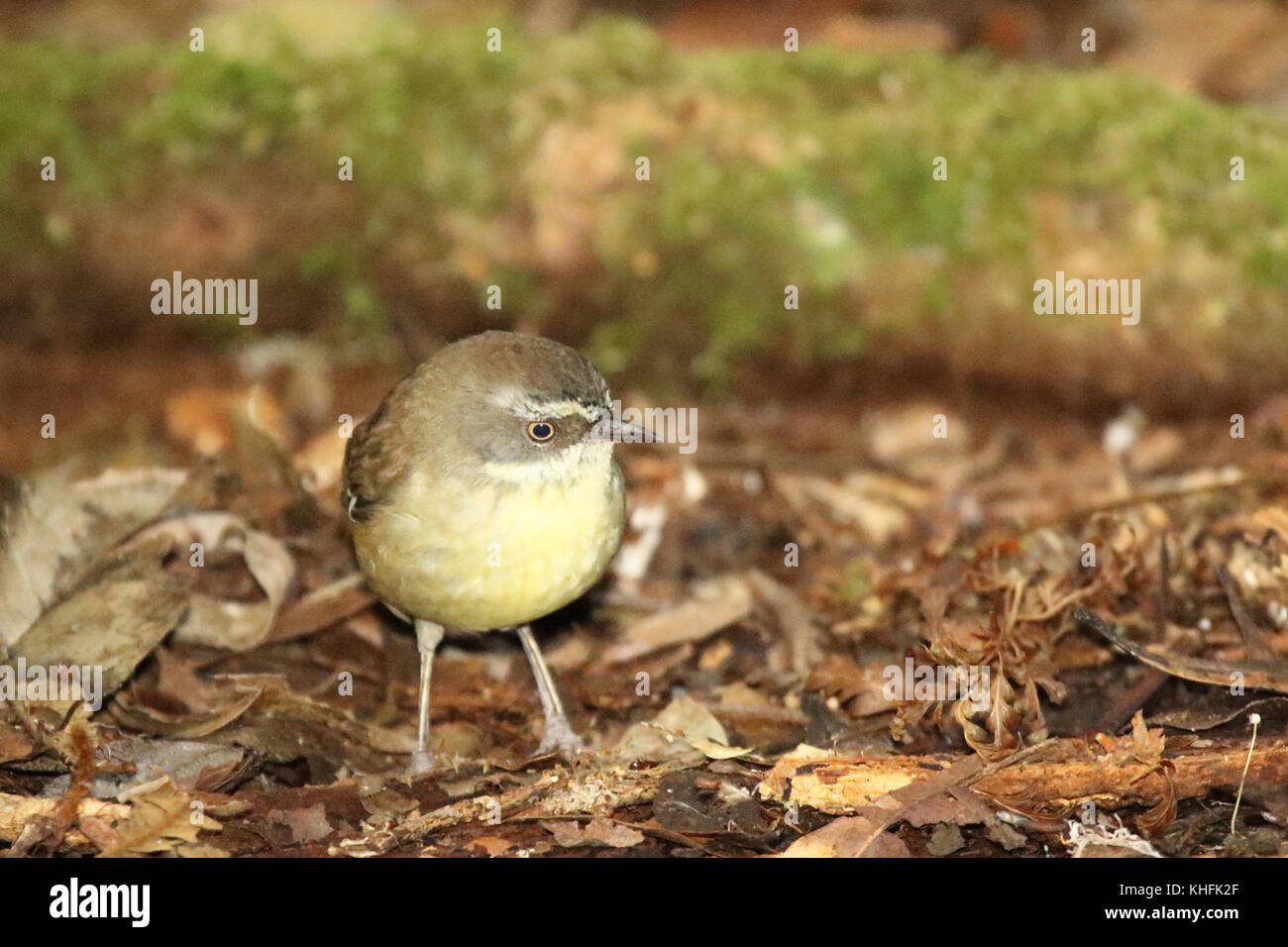 A White-browed Scrubwren searching the forest floor for food. - Stock Image