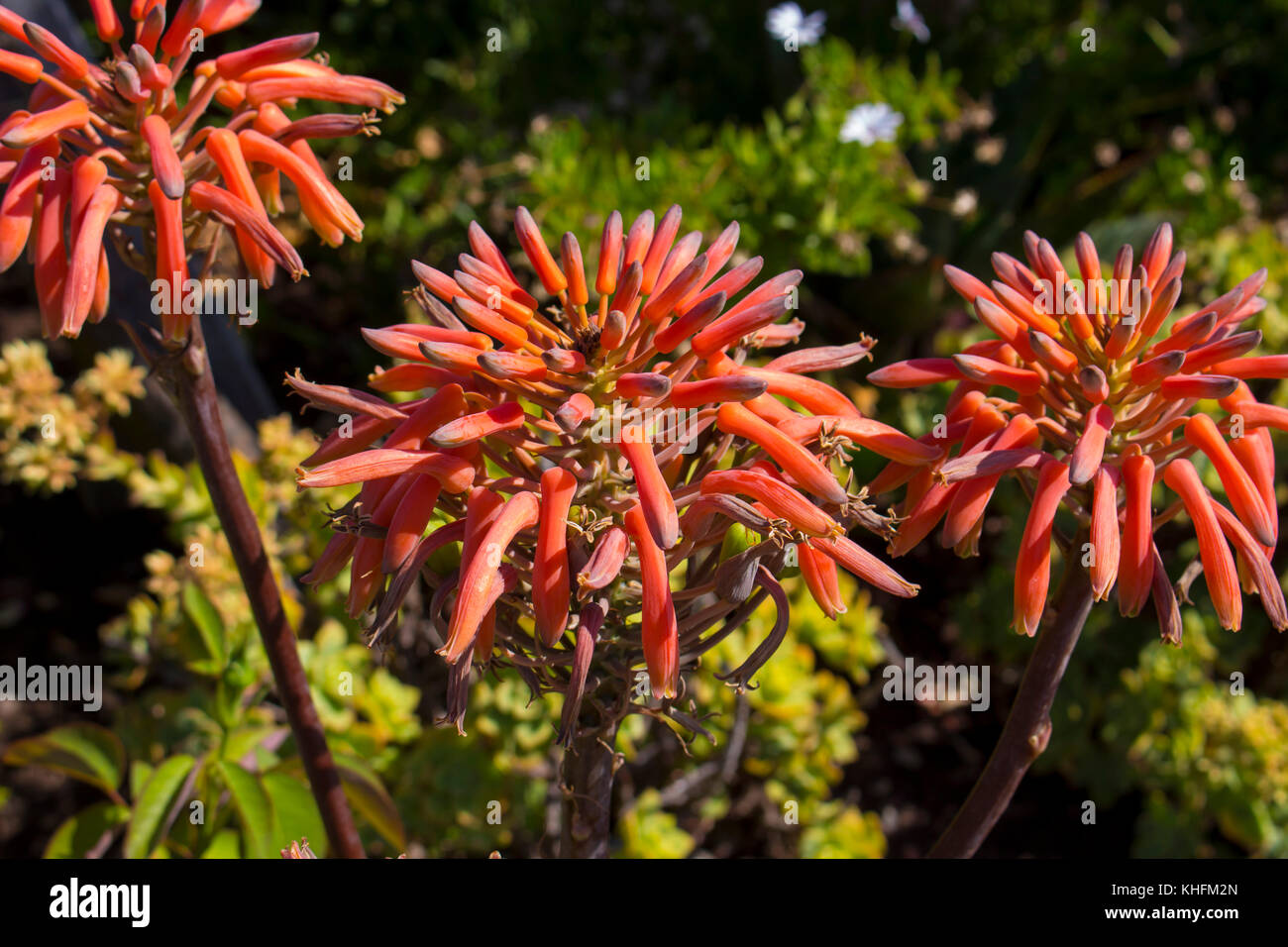 Tall Flower Spikes Stock Photos Tall Flower Spikes Stock Images