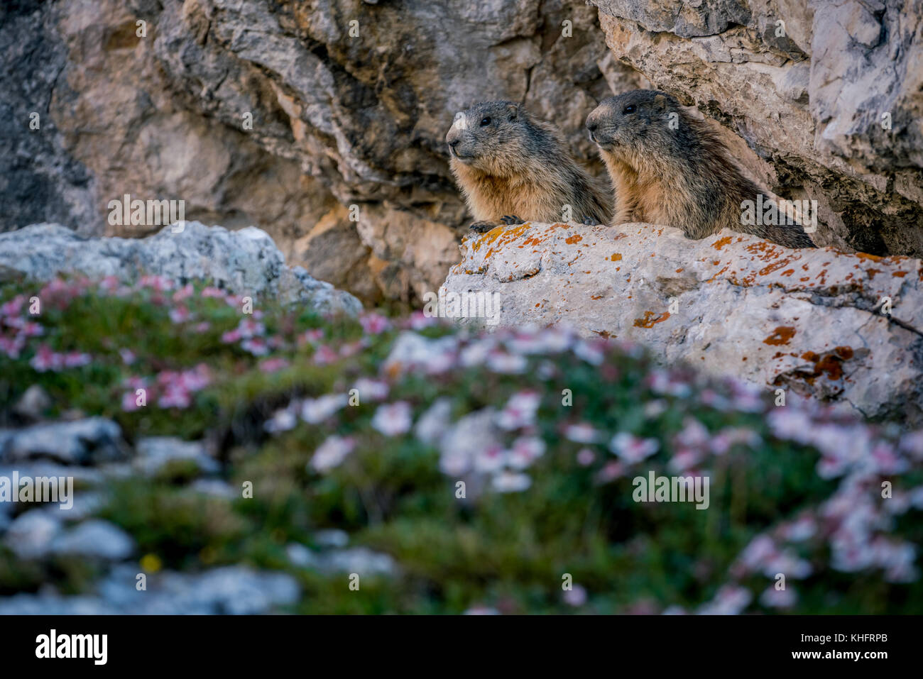 Lovely marmots couple - Stock Image