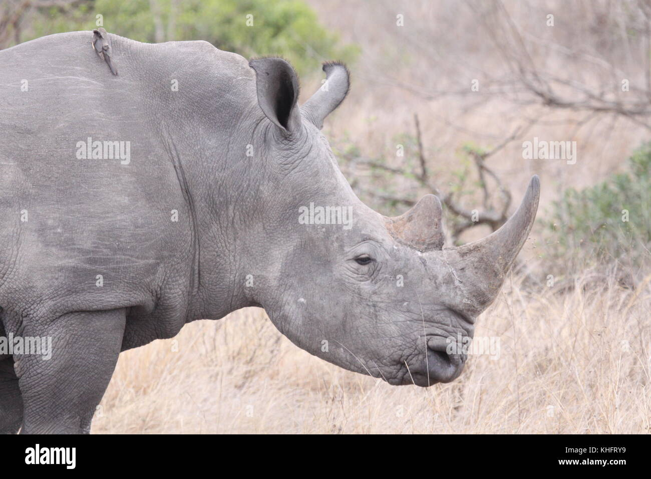 Large South African wildlife - Stock Image