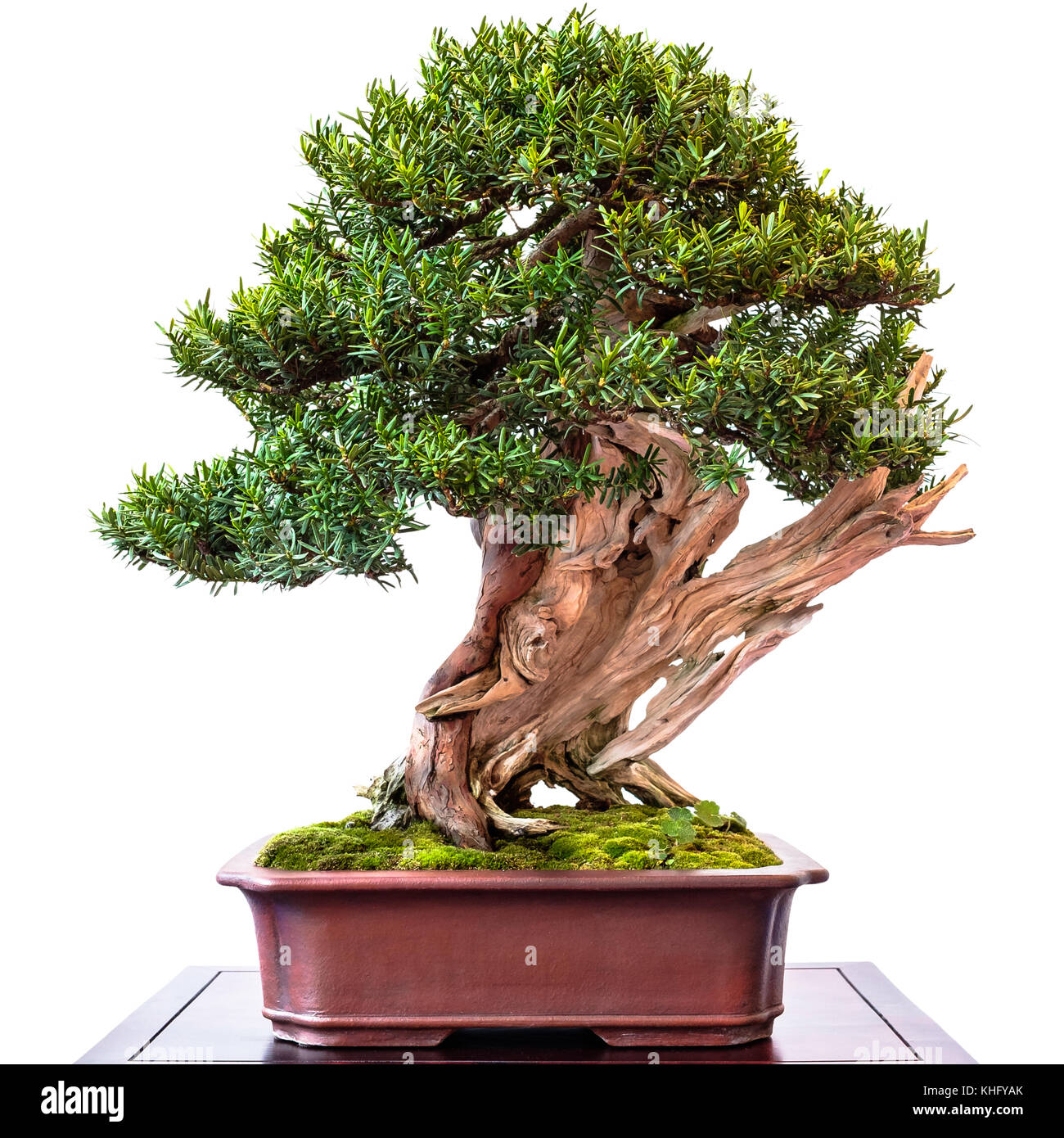 Taxus Cuspidata Stock Photos Taxus Cuspidata Stock Images Alamy