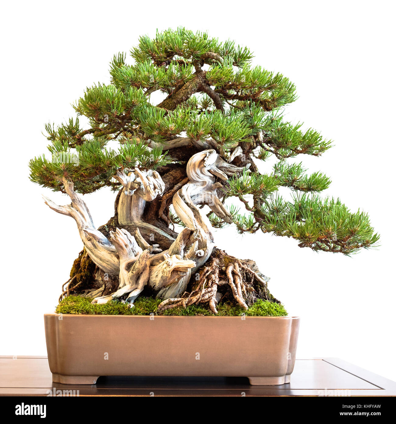 Old Mountain Pine Pinus Mugo With Deadwood As Bonsai Tree White Stock Photo Alamy