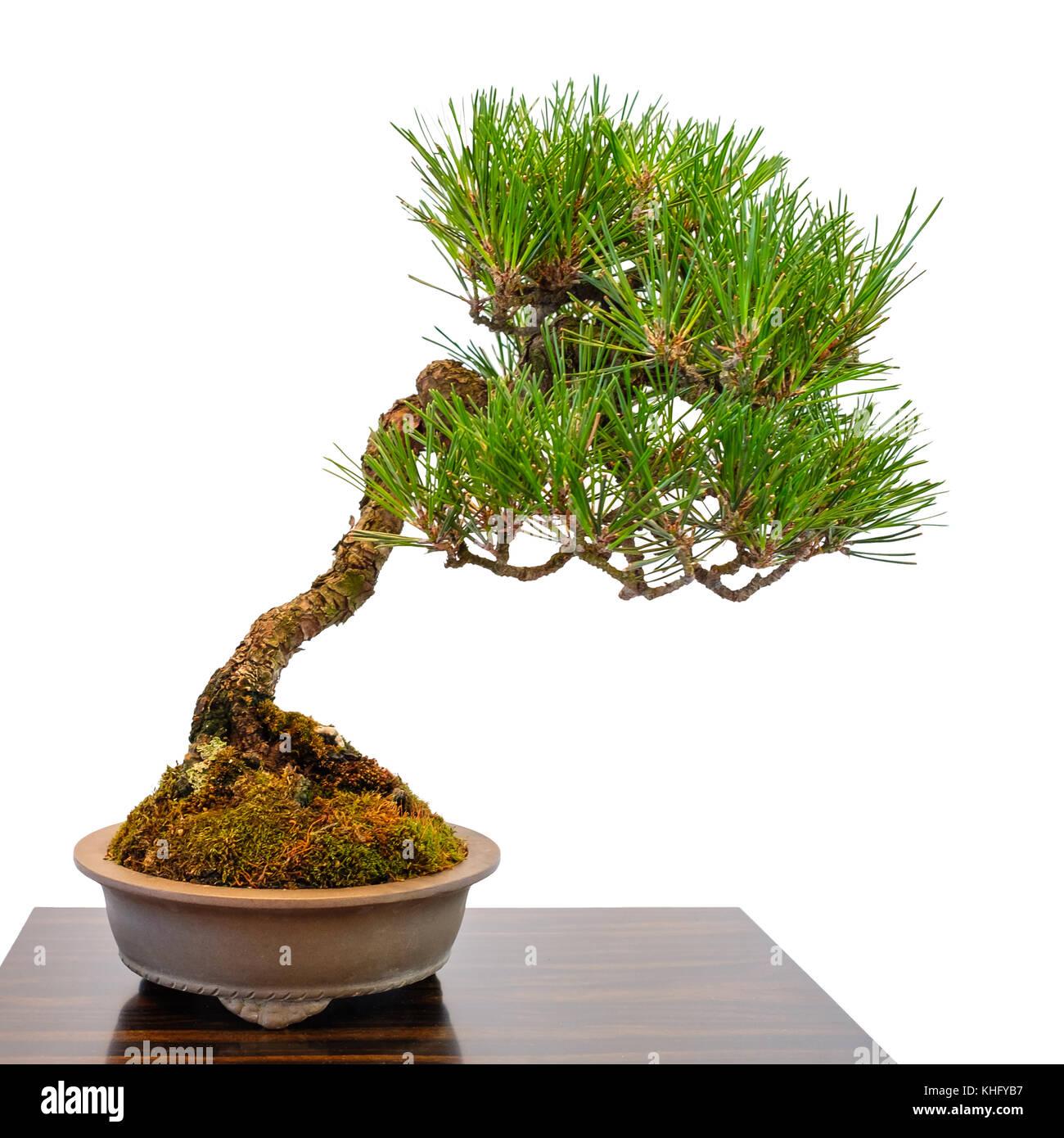 coniferous bonsai stock photos coniferous bonsai stock. Black Bedroom Furniture Sets. Home Design Ideas