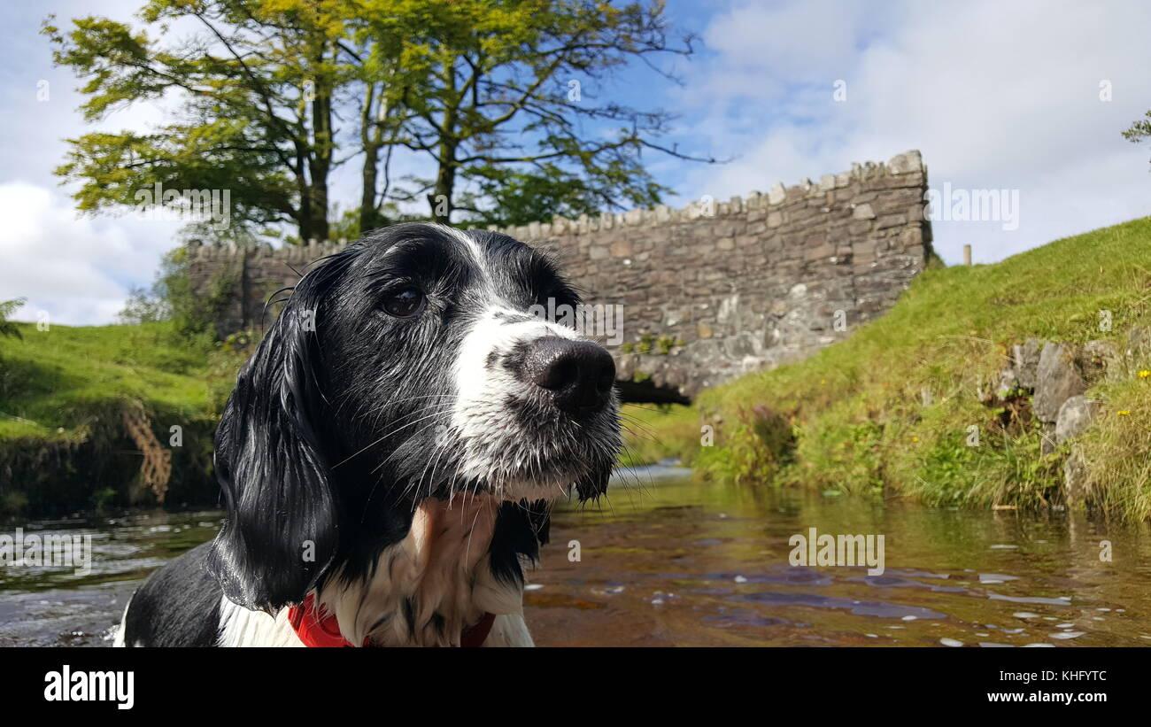 English Springer Spaniel Enjoying Exmoor Stock Photo