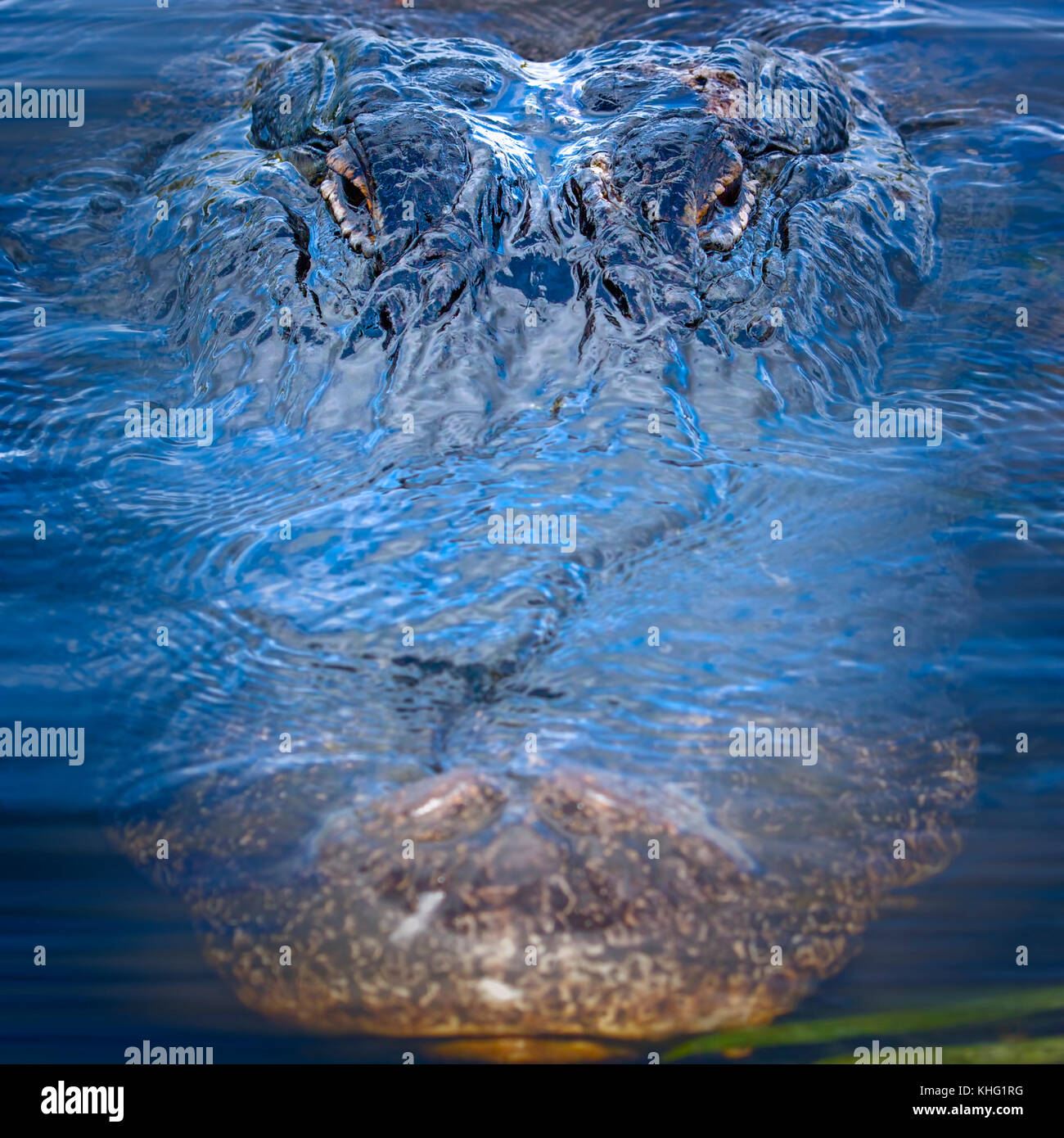 An enormous alligator swims in for a close up in the Florida Everglades. - Stock Image