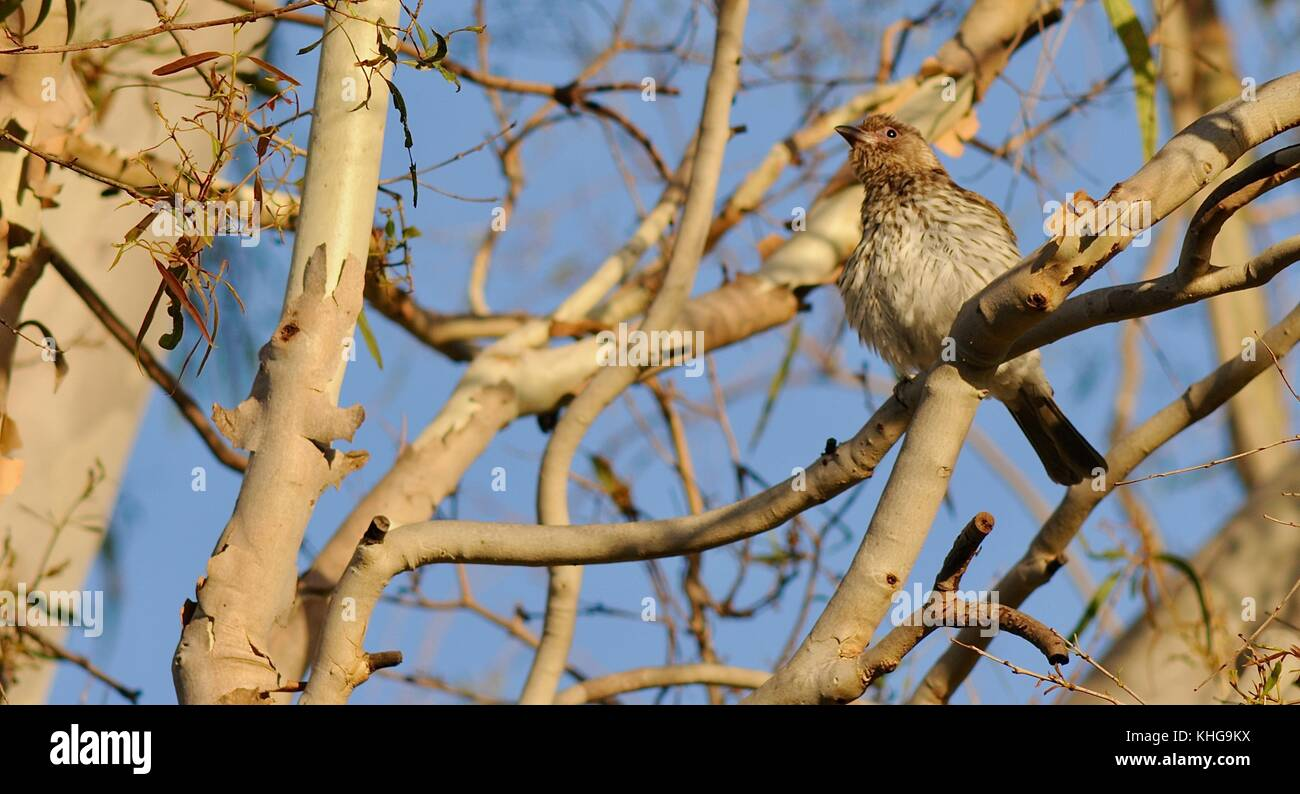 Female figbird (Sphecotheres vieilloti flaviventris) camouflaged among the branches, Sheriff Park, Ross River, Townsville, Stock Photo