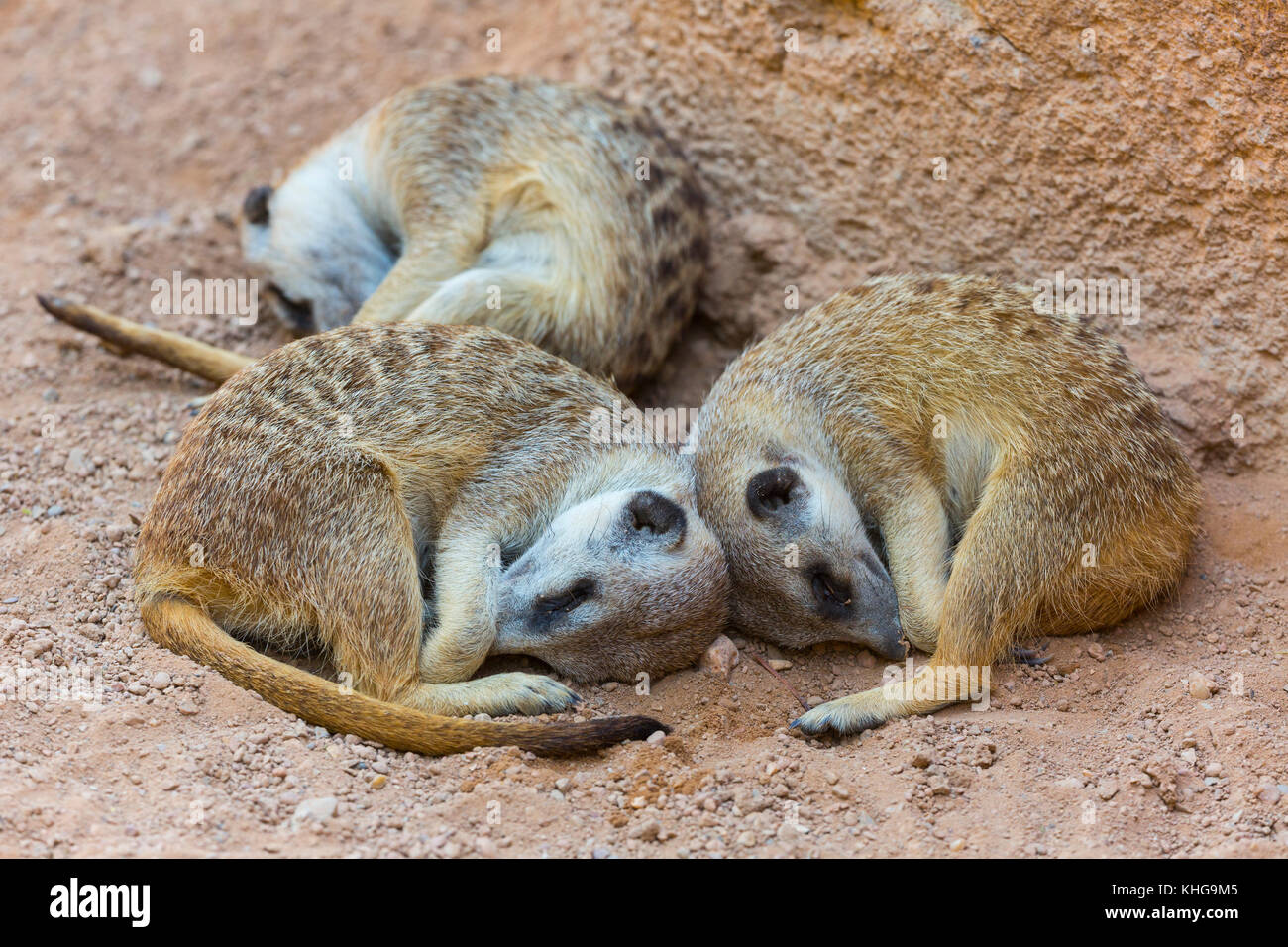 Sleeping. Meerkat or suricate (Suricata suricatta) Stock Photo