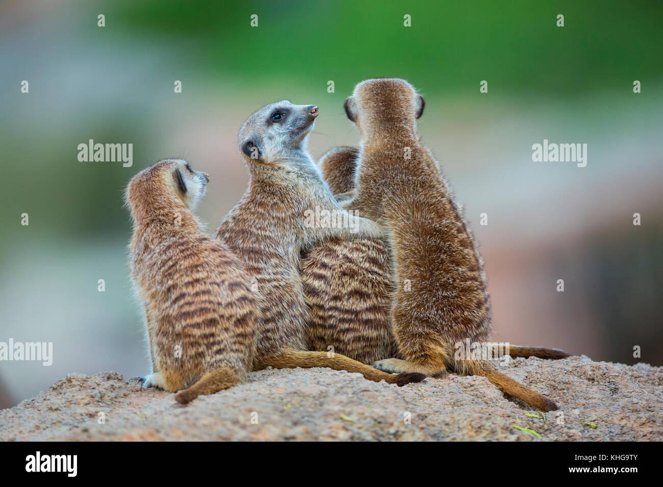 Family of meerkats. Meerkat or suricate (Suricata suricatta) Stock Photo