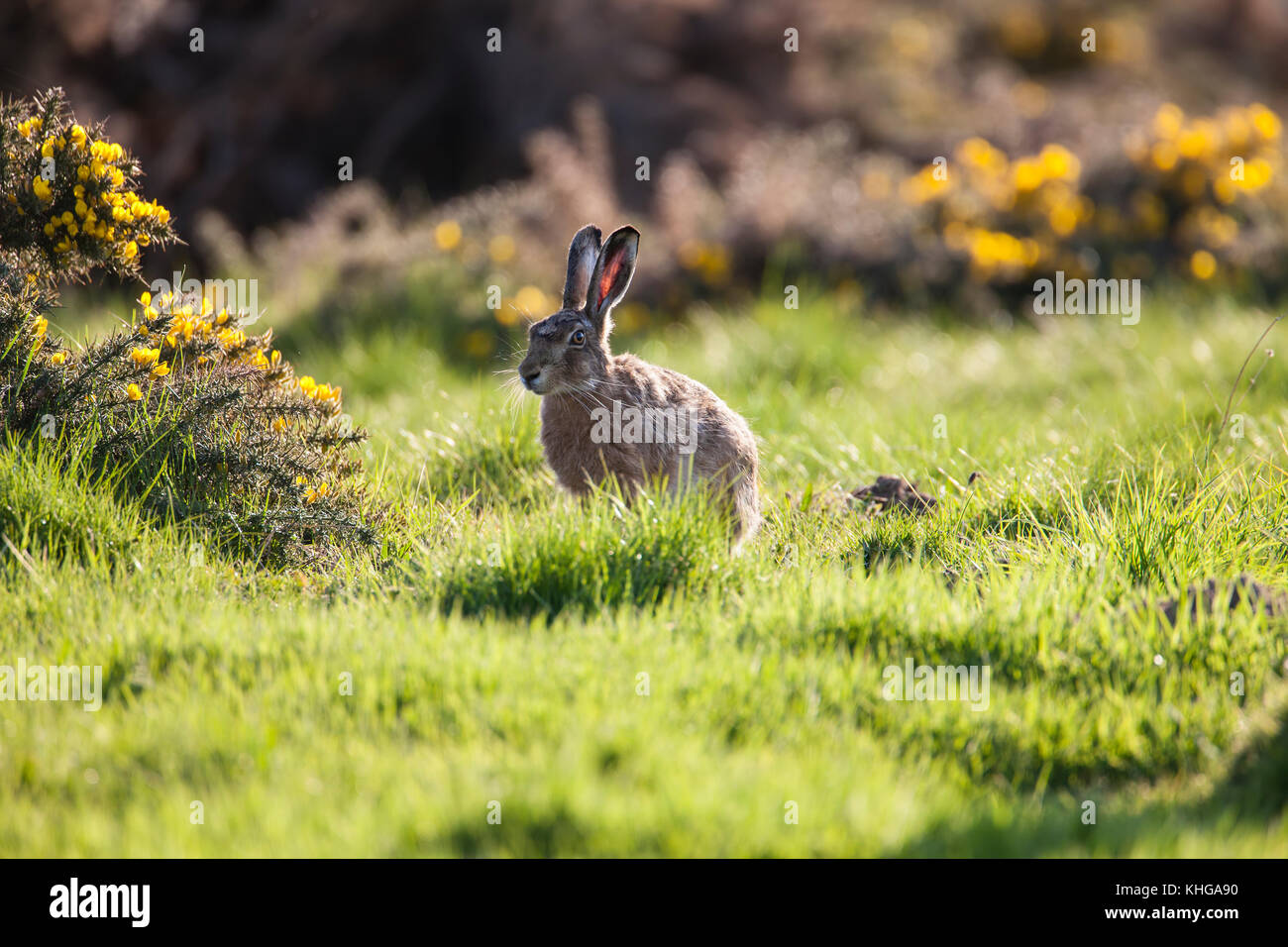 Brown Hare Lepus europaeus in thick grass and gorse bushes on sunny evening - Stock Image
