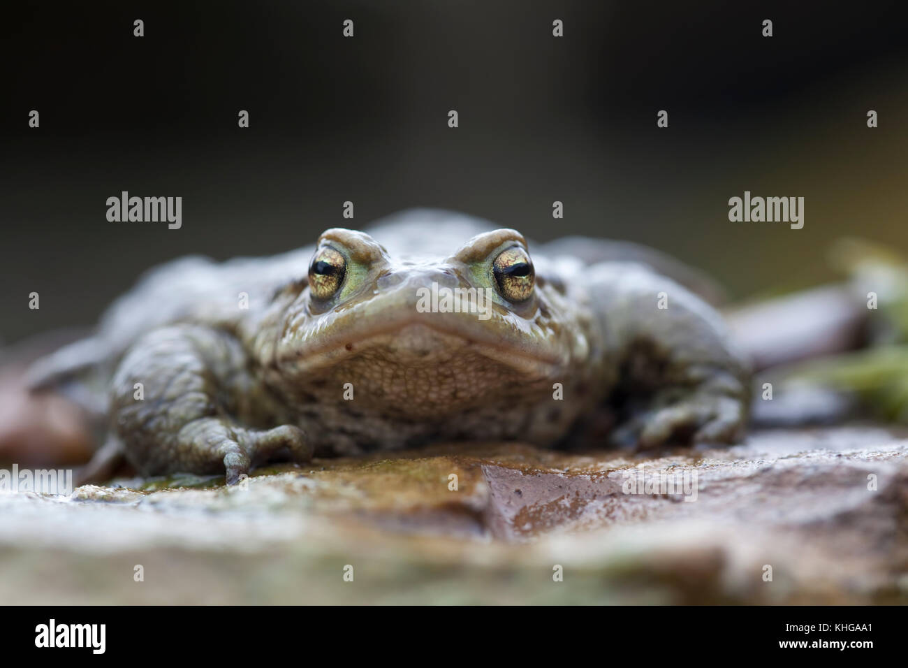 Common frog  Rana temporaria extreme close up face on - Stock Image
