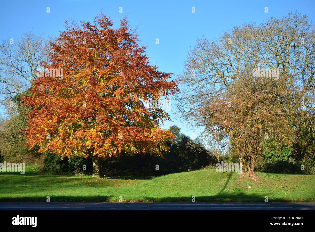Bristol, UK. 17th Nov, 2017. UK Weather. On a mild day in Bristol a tree stands in a wonderful golden color of leaves. - Stock Image