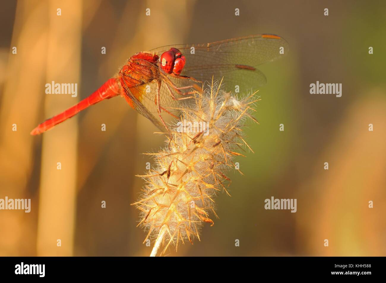 Scarlet dragonfly (Crocothemis erythraea) perched on the dry flower of grass enlightened by evening sun. Stock Photo