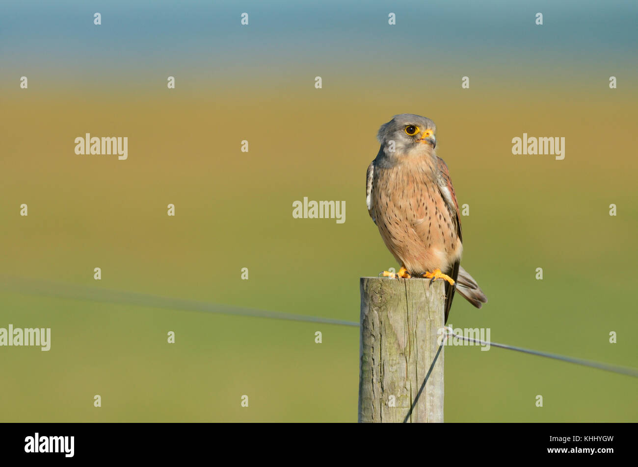 A male common kestrel (Falco tinnunculus) with blood on his beak perched on a fence post, after hunting, Norfolk, - Stock Image