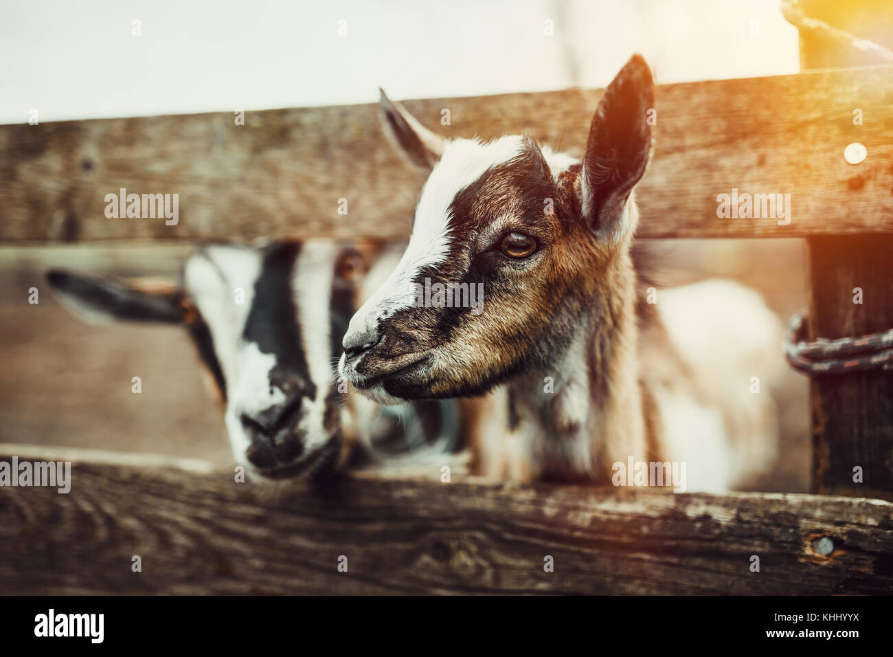 Cute Baby Goats - Stock Image