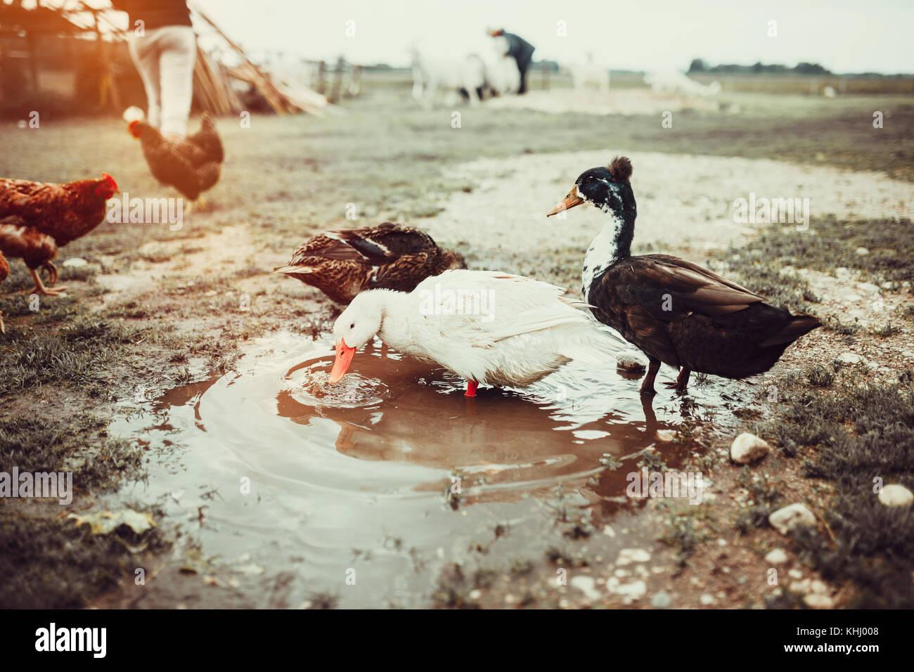 Free range living ducks - Stock Image