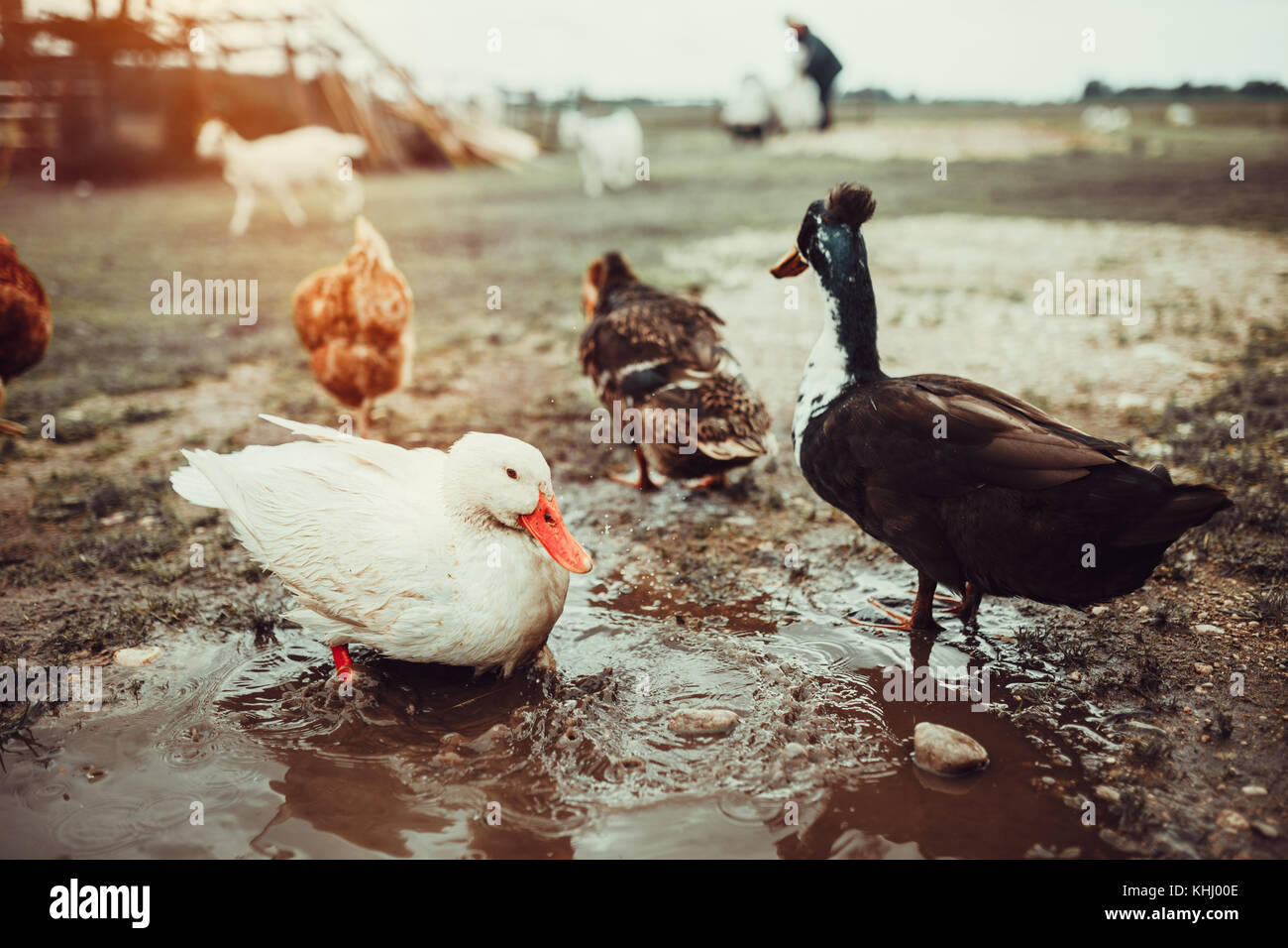 Free range living ducks - Stock Image