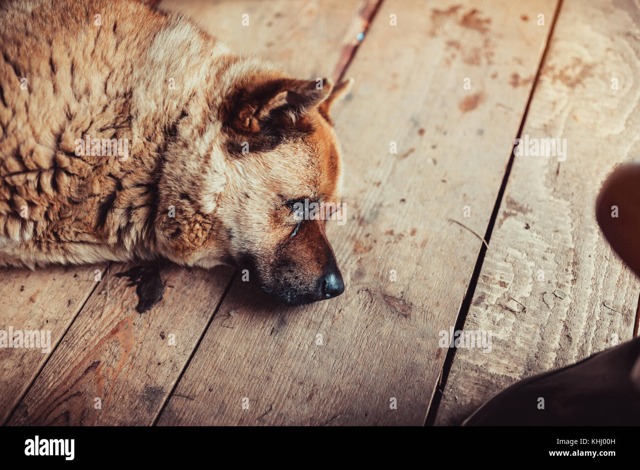 Old dog sleeping on floor - Stock Image