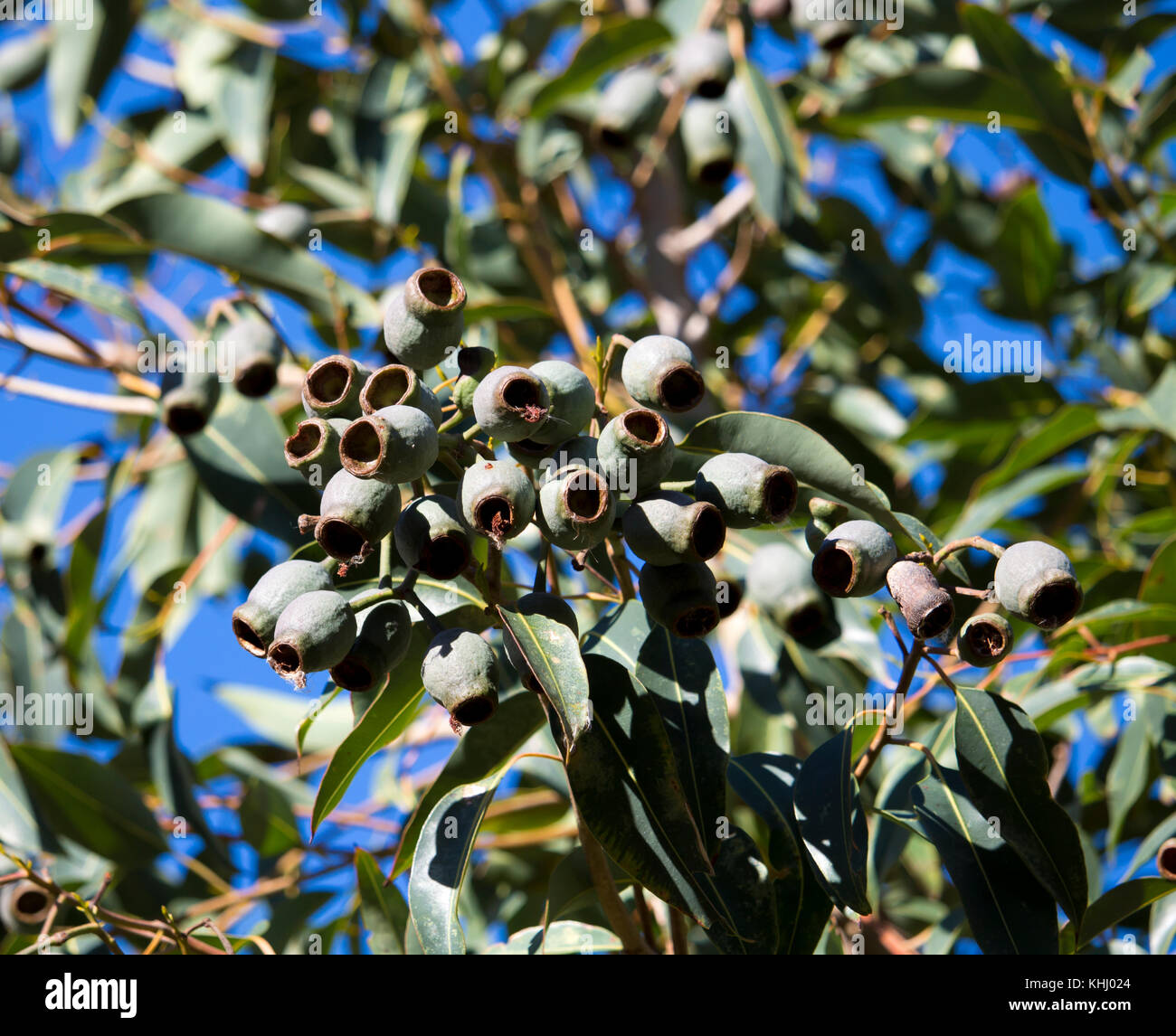 Large green gum nuts of Australian Eucalyptus  species gum tree in late winter  are decorative and unusual containing - Stock Image