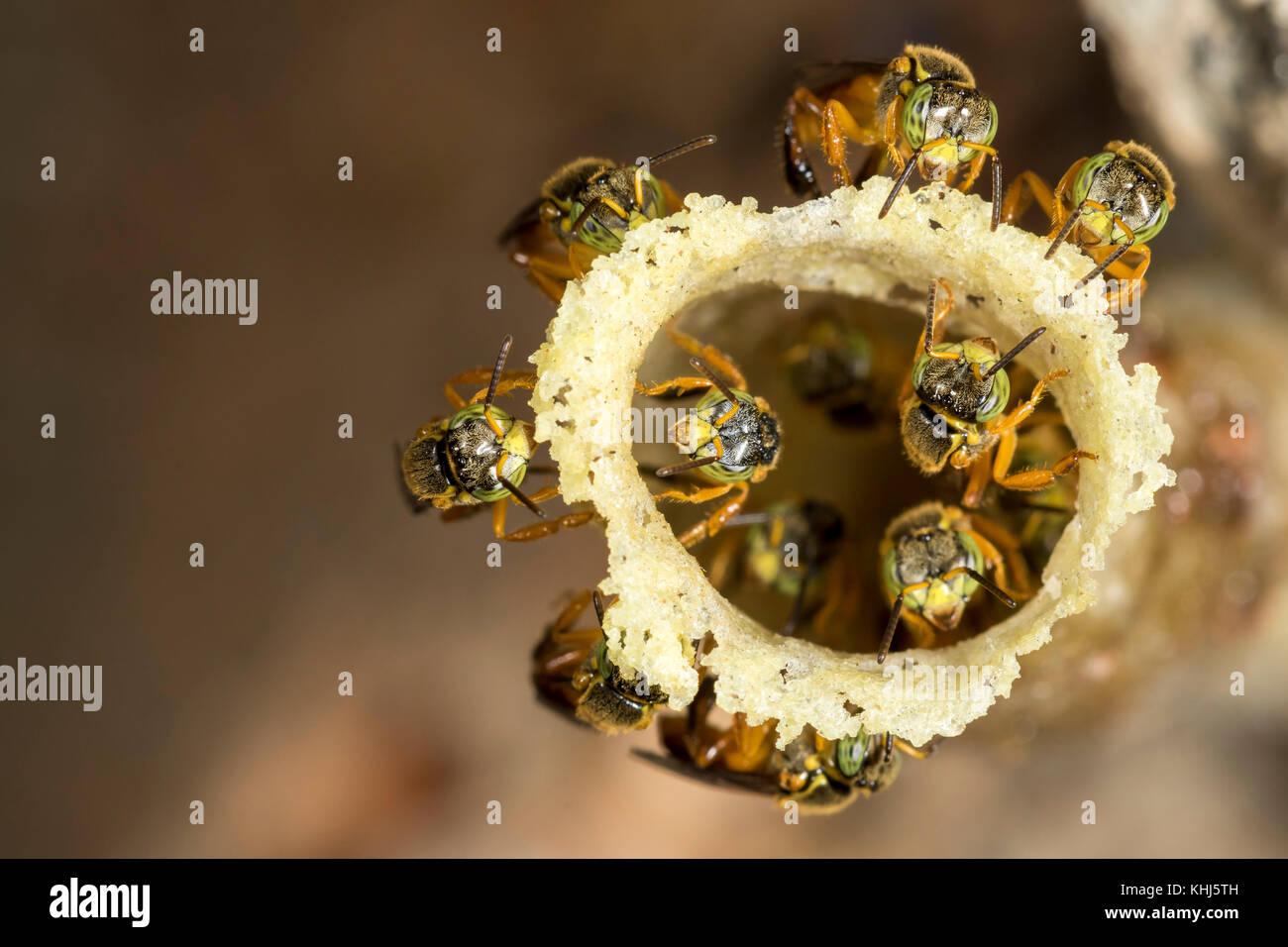 jatai stingless bee at the wax entrance to their hive - tetragonisca angustula - Stock Image