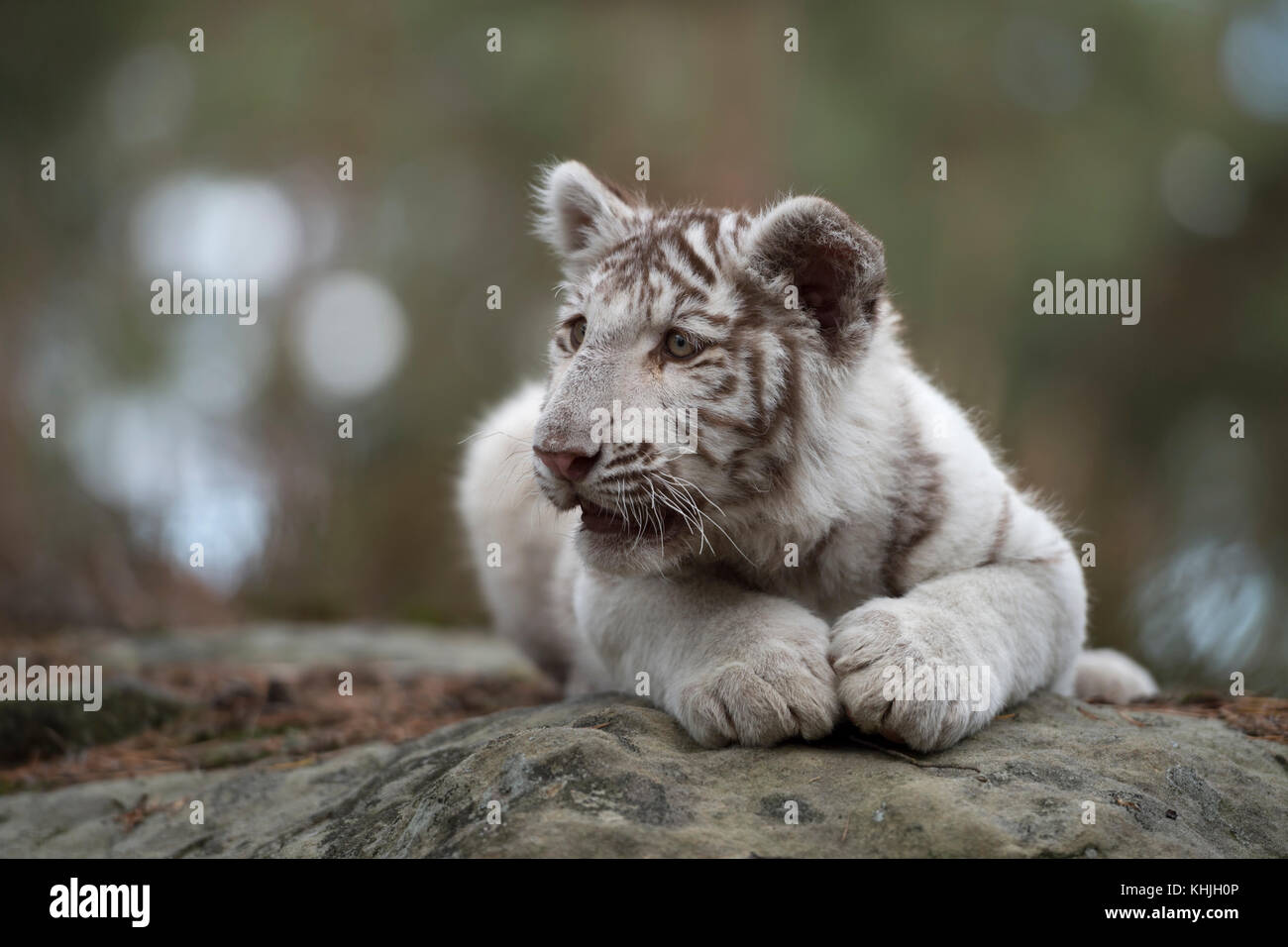 Royal Bengal Tiger ( Panthera tigris ), young cub, white leucistic morph, lying on rocks, resting, watching around, - Stock Image