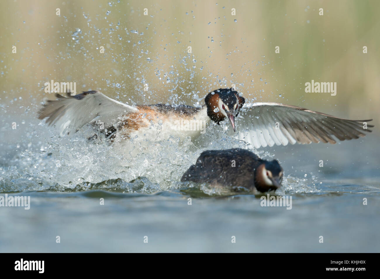 Great Crested Grebe / Haubentaucher ( Podiceps cristatus ) chasing a rival, territorial behaviour, aggressive attack, - Stock Image