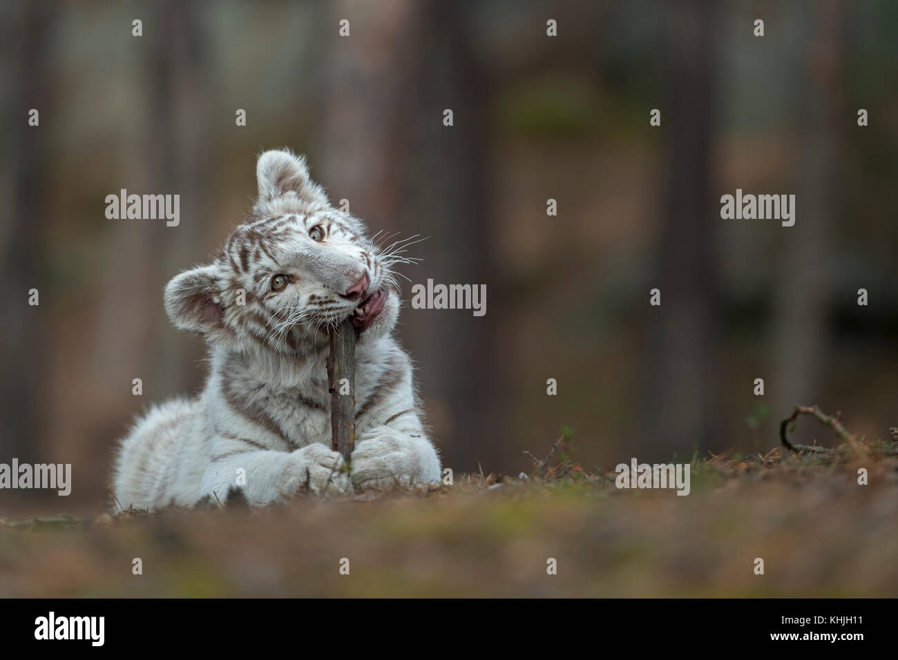 Royal Bengal Tiger ( Panthera tigris ), young cub, kitten, lying on the ground of a forest, playing with, biting - Stock Image