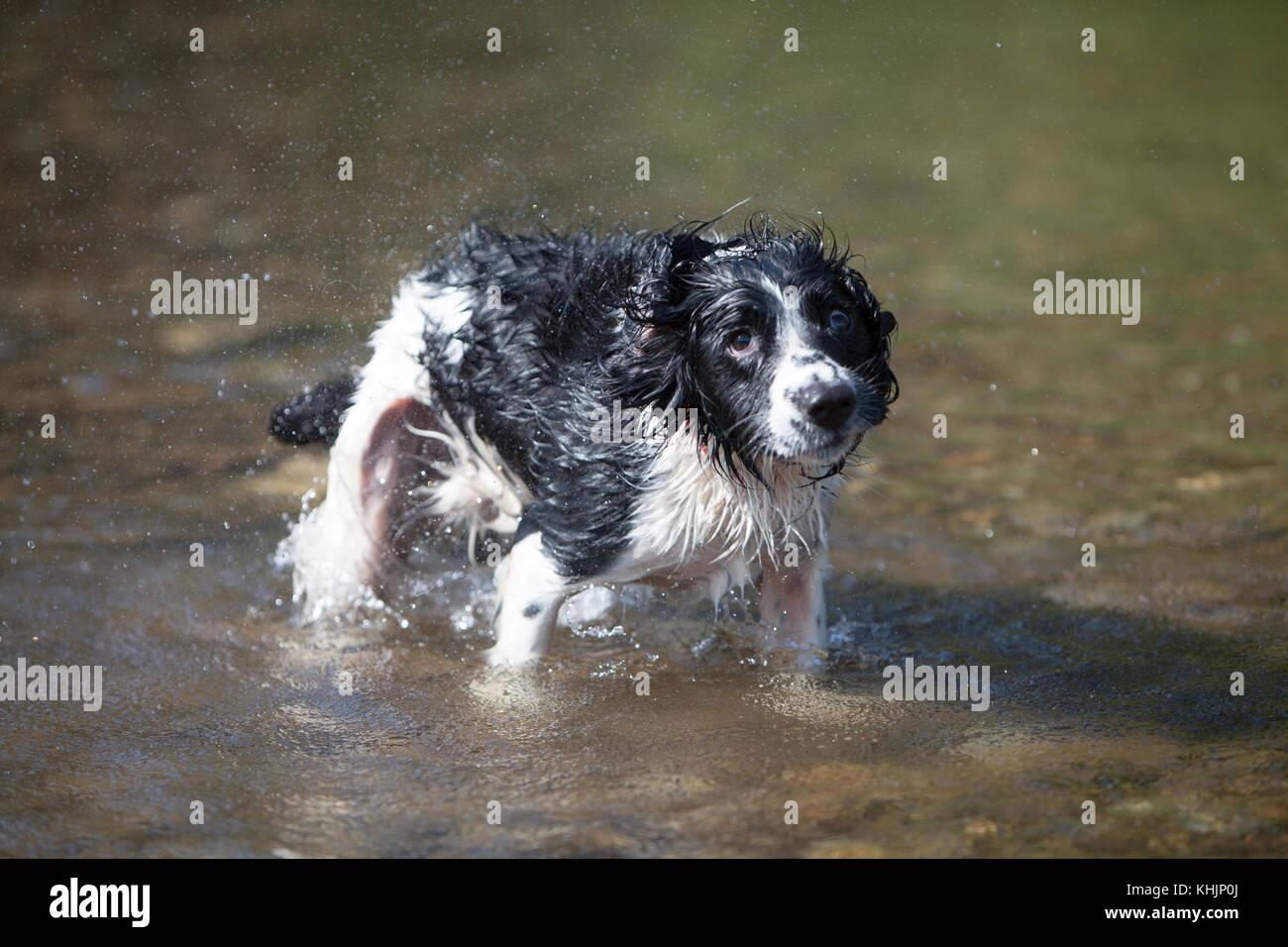 English Springer Spaniel Enjoying Exmoor - Stock Image
