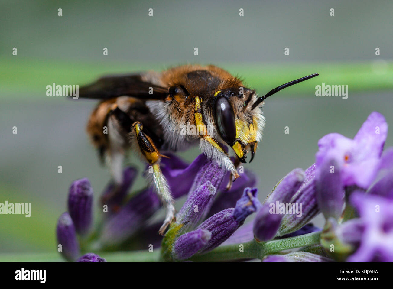 European Wool Carder Bee, Anthidium manicatum, Munich, Bavaria, Germany - Stock Image