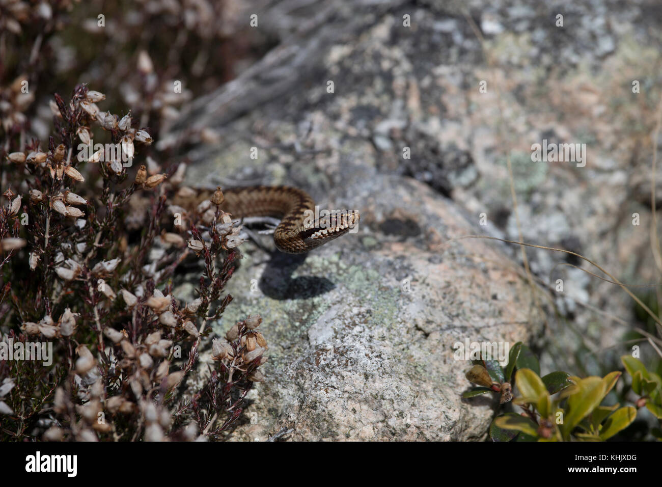 common adder viper, Vipera berus, resting on a rock near heather during a hot summer day in the cairngorms national - Stock Image