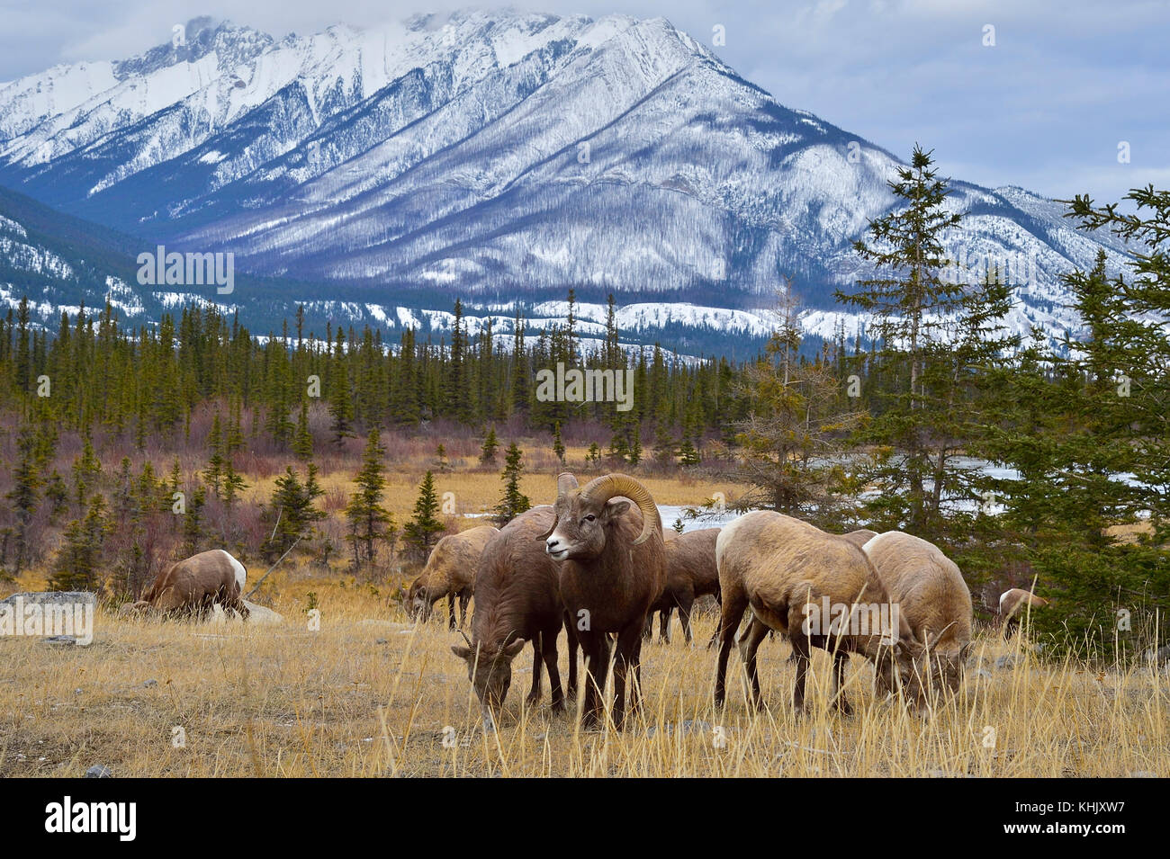 A herd of wild Bighorn Sheep (Ovis canadensis) foraging in the brown grass in a majestic rocky mountain landscape - Stock Image