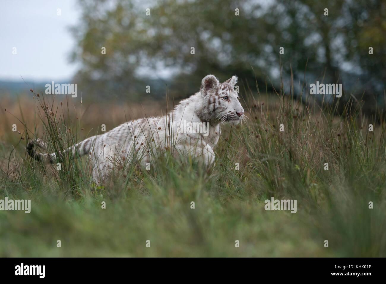 Royal Bengal Tiger / Koenigstiger ( Panthera tigris ), big cat in action, running, jumping, hunting, on grassland, - Stock Image