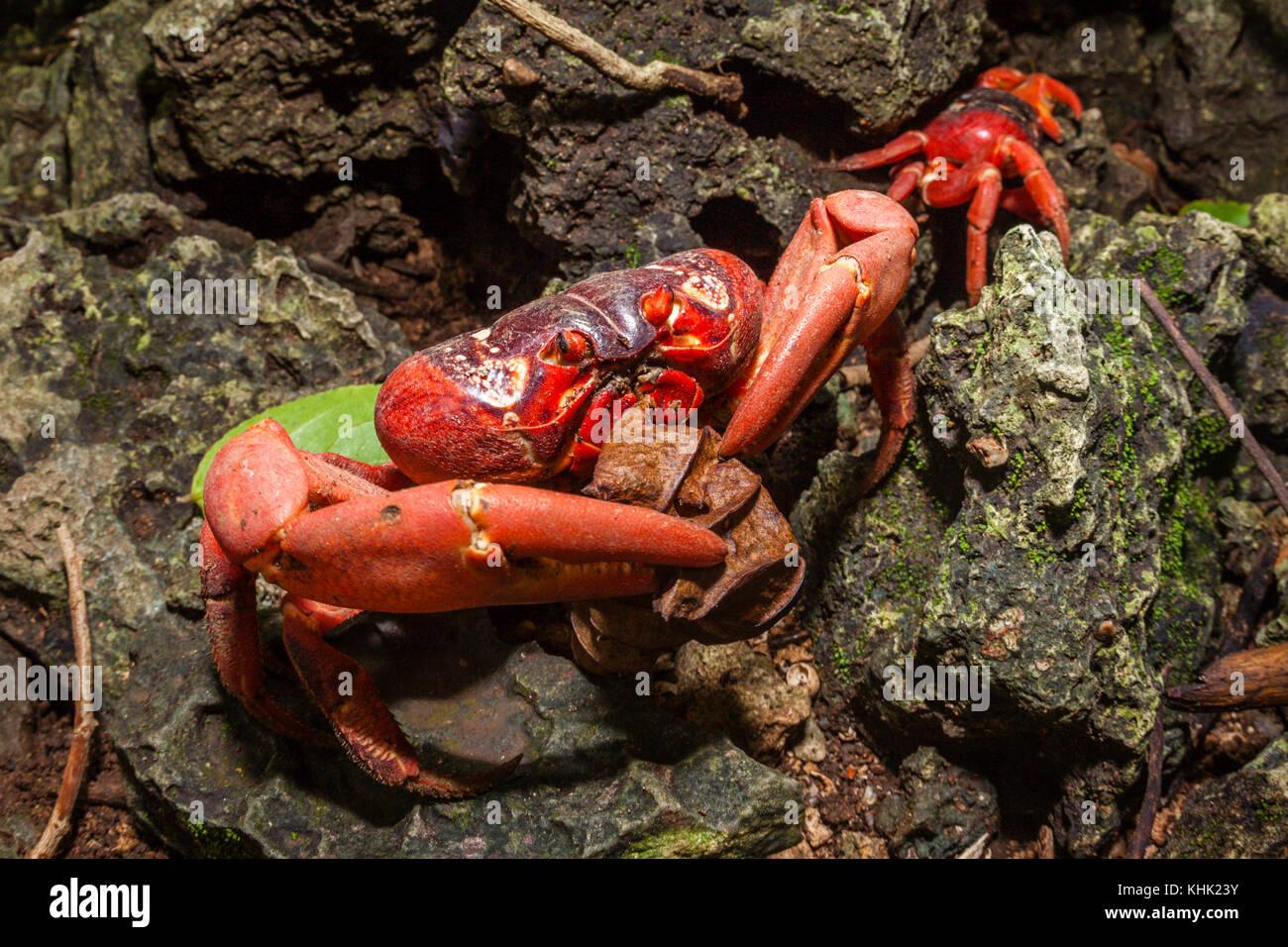 Christmas Island Red Crab feeding on Leaf, Gecarcoidea natalis, Christmas Island, Australia - Stock Image